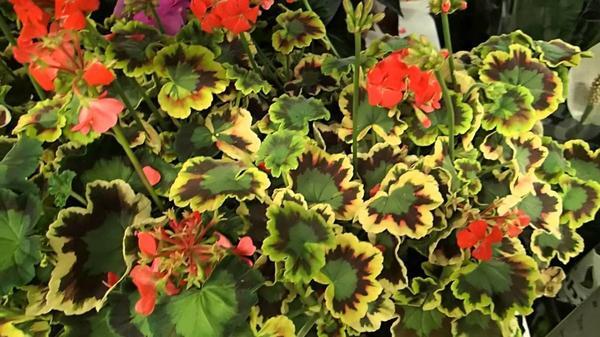 Пеларгония зональная, пестролистная, фото сайта youtube.com