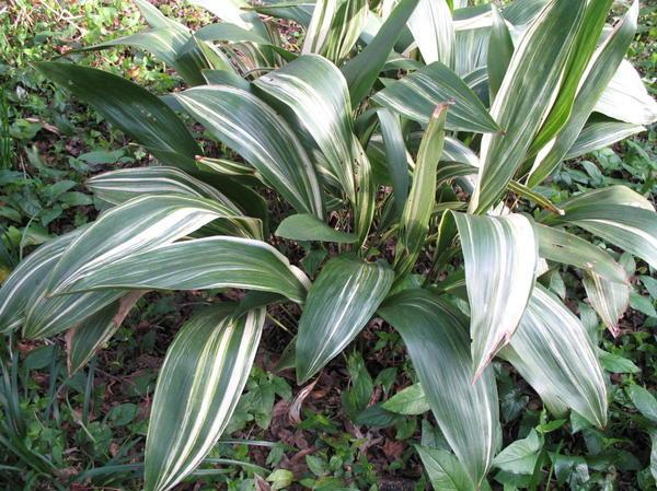 Аспидистра возвышенная Variegata, фото сайта onlineplantguide.com
