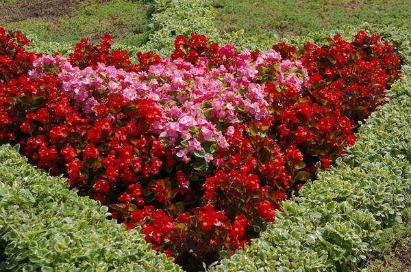 Плектрантус Форстера Marginatus окаймляет бегонию вечноцветущую на летней клумбе