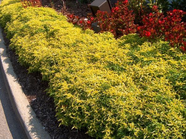 Золотистый бордюр из альтернантеры сорт Chartreuse , фото сайта onlineplantguide