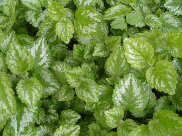 Зеленчук жёлтый Variegatum