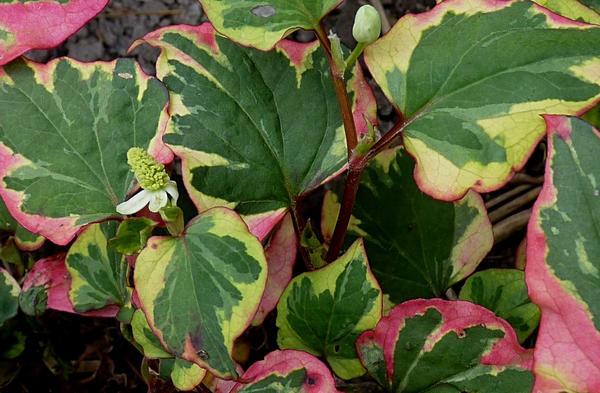 Гуттуиния сердцевидная Hameleon, фото сайта commons.wikimedia.org