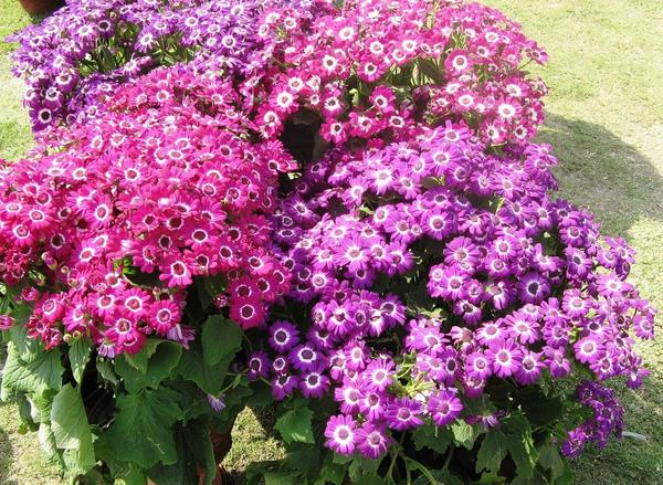 Цинерария Grandiflora