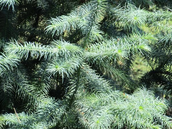 Куннингамия ланцетолистная Glauca, хвойная красавица из семейства Таксодиевые