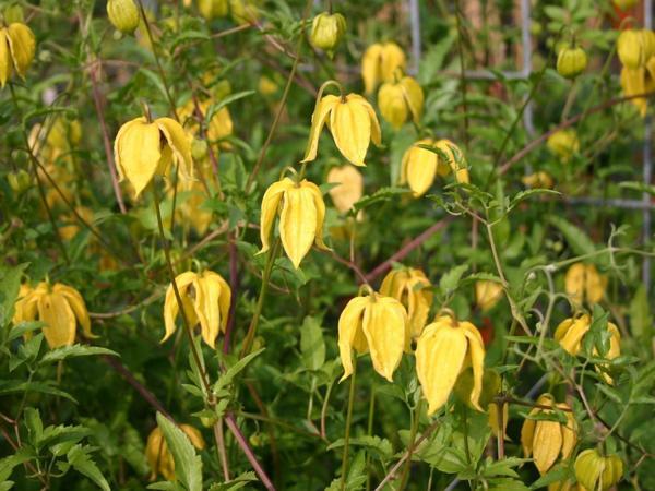 Клематис тангутский можно вырастить из семян, фото сайта baumschule-horstmann.de