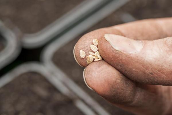 Семена можно прорастить, но можно сеять и сухими