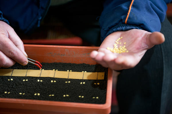 Эксперты рекомендуют заделывать семена перца на глубину 1,5-2 см