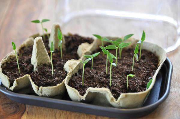 Как только появились первые ростки, крышки с мини-парников нужно снять