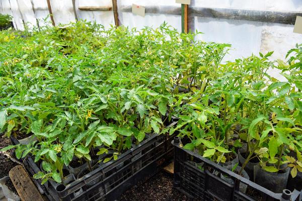 Если рано посеять рассаду томата и перца, до высадки в грунт она перерастет