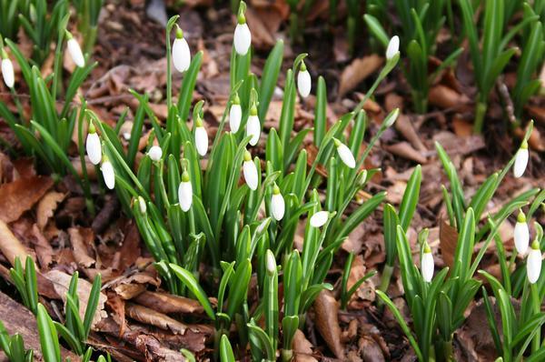 Галантус складчатый - первенец весны. Фото автора
