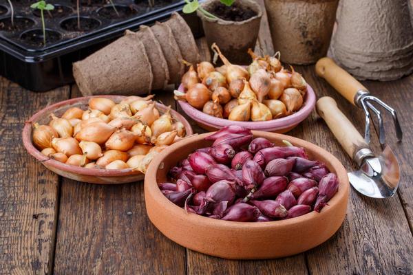 Выбираем лучший способ подготовки луковиц к посадке