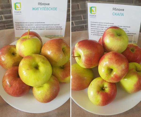 Яблоки сорта Жигулевское и Скала