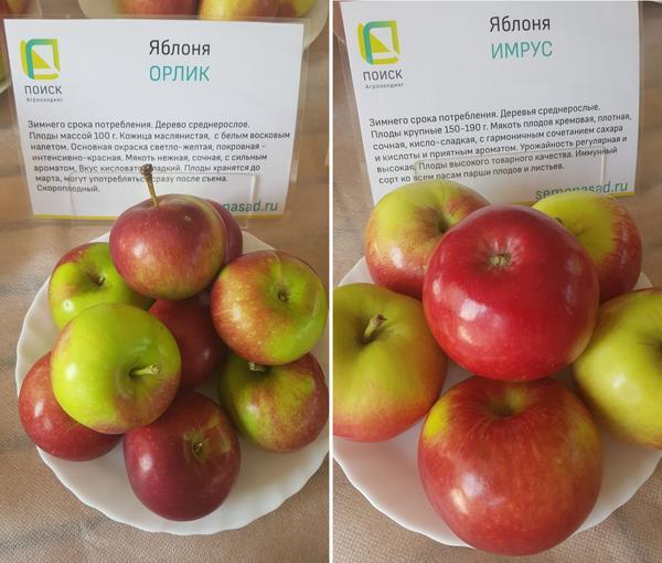 Яблоки сорта Орлик и Имрус
