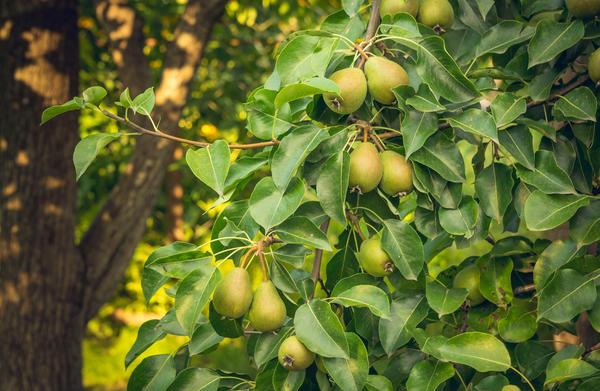 Это груша. Но с ботанической точки зрения все плоды семечковых - яблоки