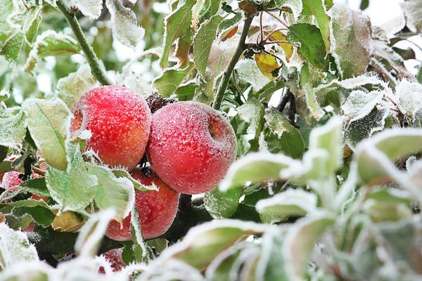 Важная характеристика сорта - срок созревания плодов
