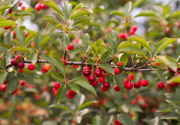 Косточковые породы плодовых деревьев начинают плодоносить раньше семечковых