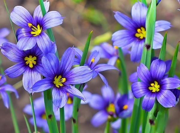 Голубоглазка узколистная (Sisyrinchium angustifolium)
