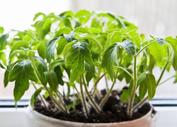 Рассаду можно выращивать различным образом и в разных емкостях