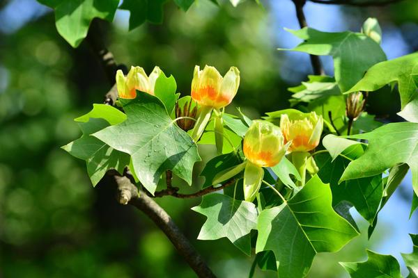 Экзотическое цветение лириодендрона тюльпаноносного
