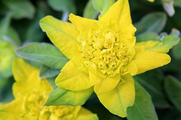 Молочай многоцветковый (Euphorbia epithymoides)
