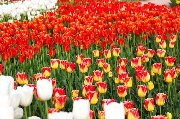 Тюльпаны на параде цветов в Крыму. Фото автора