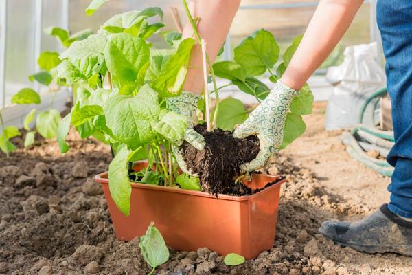 Баклажанам потребуется припосадочное внесение удобрений