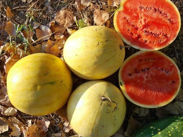 Арбуз желтоплодный. Фото с сайта kaktutest.by