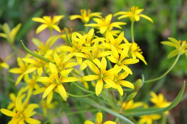 Желтые звездочки цветения гусиного лука желтого