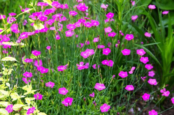 Гвоздика травянка. Фото автора