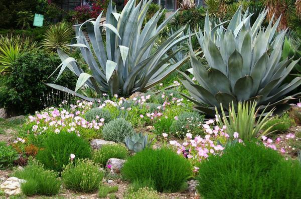 Агавы в композиции мексиканского сада, НБС. Фото автора