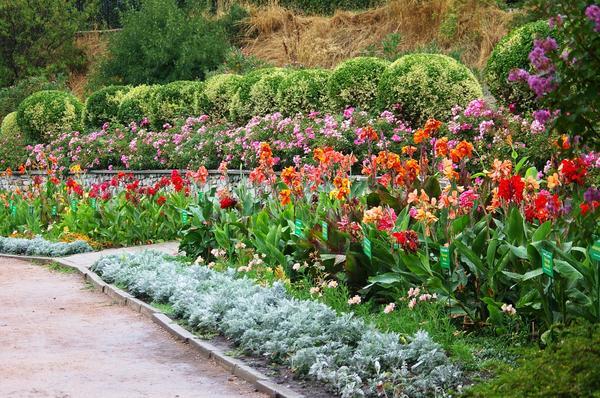 В настоящее время демонстрируется коллекция канны садовой. Фото автора