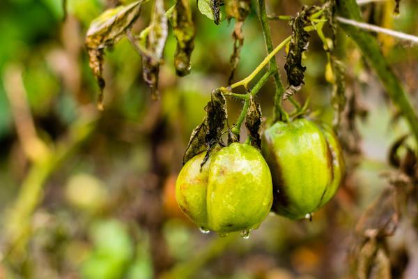 Дождеванием помидоры поливать не стоит