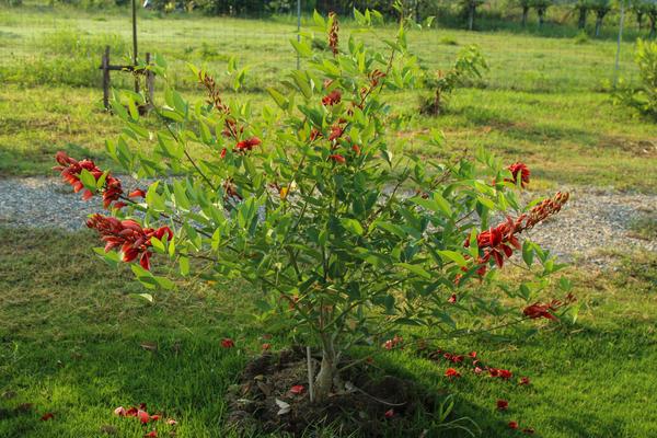 Красавица эритрина