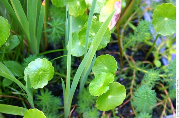 Щитолистник обыкновенный в водоеме Сада. Фото автора