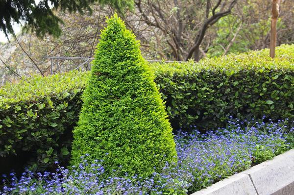 Самшит вечнозеленый в стрижке. Фото автора