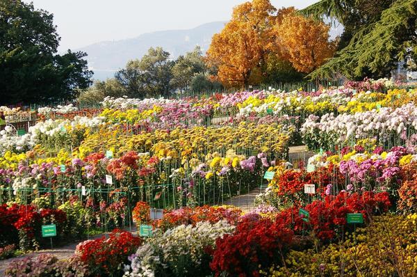 Цветут хризантемы в Саду. Общий вид экспозиции хризантем, фото автора