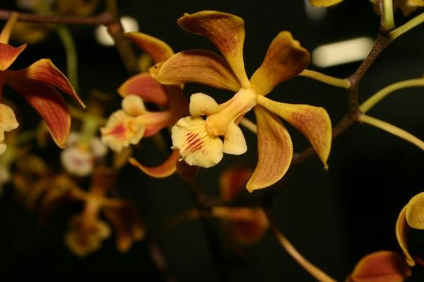 Цветок энциклии