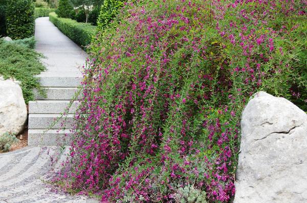 Леспедеца Тунберга в цветении. Фото автора