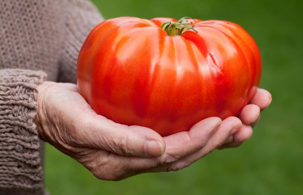 Крупный томат - претендент на рекорд