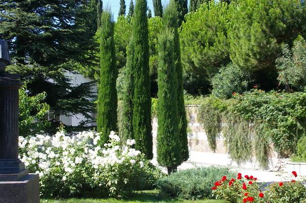 Кипарис вечнозеленый пирамидальный в парке санатория Айвазовское в Партените. Фото автора