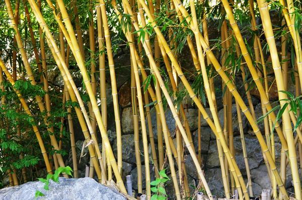 Листоколосник бамбуковидный. Фото автора