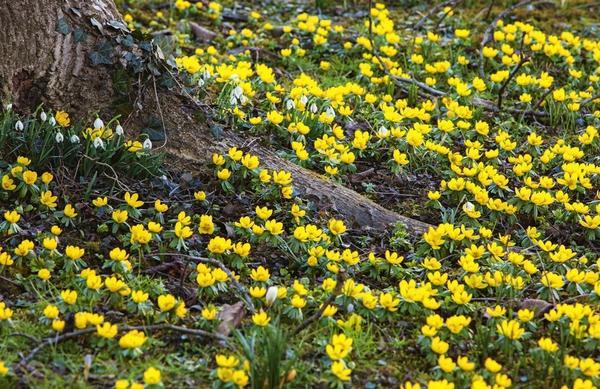 В ажурной тени деревьев и кустарников весенники растут лучше всего. Муравьи помогают рассеиваться семенам, в результате чего через несколько лет растения стелются подобно ковру