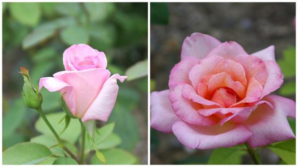 Роза садовая сорт Michele Meilland, фото автора