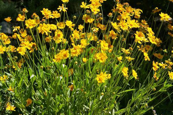 Цветут кореопсисы на открытом участке. Фото автора