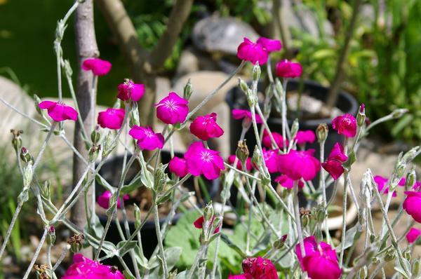 Лихнис корончатый цветет с мая и до самых серьезных заморозков осенью. Фото автора