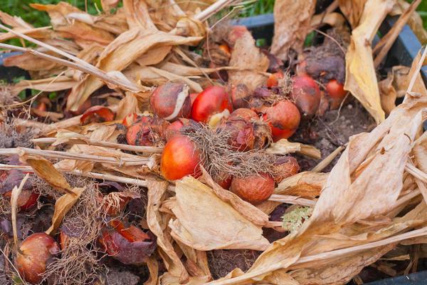 Важно верно определить срок выкопки луковиц и клубнелуковиц