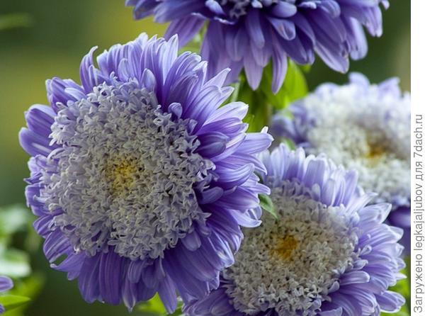 Цветы астра посадка уход фото