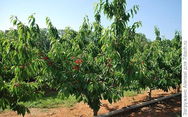 дерево черешня