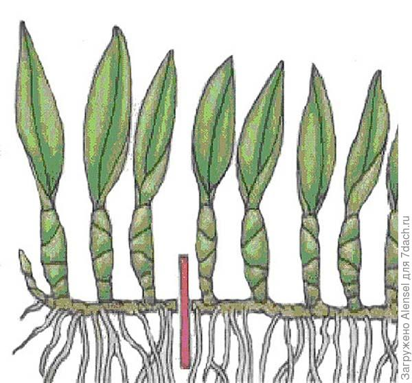 Размножение орхидеи корневищами