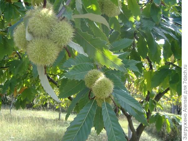 Орехи каштана конского
